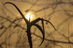 Заход солнца через misted стекло, на переднем плане цветок алоэ стоковое фото rf