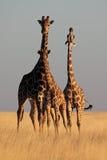 заход солнца 3 giraffes светлый теплый Стоковое Изображение RF