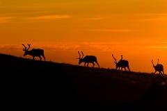 заход солнца deers Стоковая Фотография RF