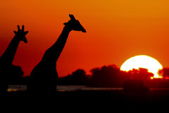 заход солнца giraffe Стоковое Изображение