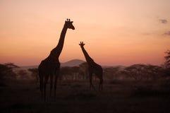 заход солнца giraffe Стоковые Изображения