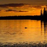заход солнца loon Стоковая Фотография RF