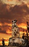 заход солнца meerkat Стоковое Изображение