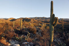 заход солнца saguaro холмов Стоковые Изображения