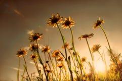 заход солнца поля маргариток Стоковые Фотографии RF