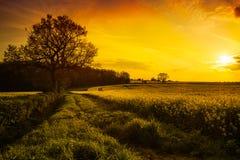 заход солнца поля canola Стоковые Изображения RF