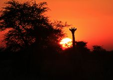 Заход солнца 2 силуэта Giraffe - Африка!!! Стоковые Изображения