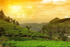 Заход солнца ландшафта плантации чая стоковое фото