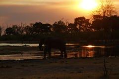 Заход солнца африканских слонов на канале Savuti Стоковые Фотографии RF