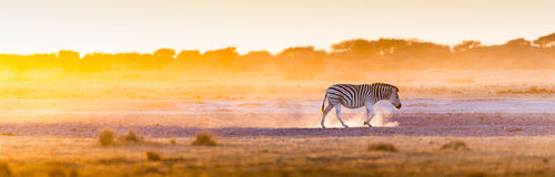 Заход солнца Африка зебры Стоковое Изображение