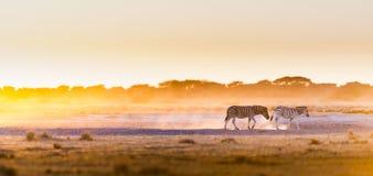 Заход солнца Ботсвана зебры Стоковое Изображение RF