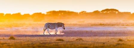 Заход солнца Ботсвана зебры стоковое фото rf