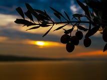 Заход солнца 2 ветви оливкового дерева Стоковое Изображение RF