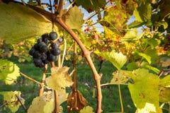 Заход солнца виноградника Стоковые Фотографии RF