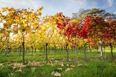 Заход солнца виноградника Стоковые Изображения RF