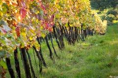 Заход солнца виноградника Стоковые Фото