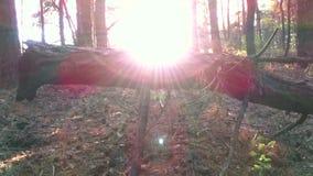 Заход солнца в лесе сосенки видеоматериал