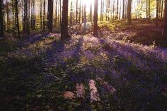 Заход солнца в лесе bluebells Стоковые Изображения