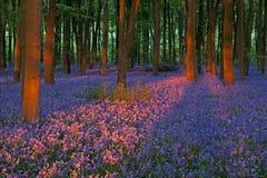Заход солнца в красивой древесине bluebell Стоковые Изображения RF