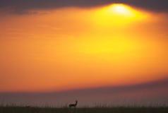 Заход солнца в национальном парке Maasai Mara вышесказанного Кения стоковые фотографии rf