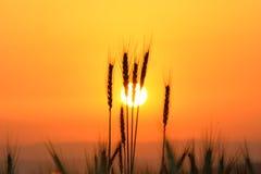 Заход солнца в поле пшеницы Стоковая Фотография