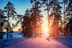 Заход солнца в сосновом лесе в зиме стоковые изображения