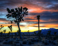 Заход солнца дерева Иешуа Стоковое Изображение