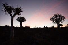 Заход солнца леса дерева колчана Стоковые Фото
