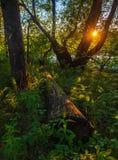 Заход солнца лета в лесе Стоковое фото RF