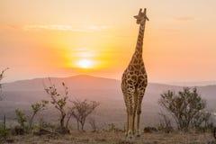 Заход солнца жирафа Стоковое фото RF