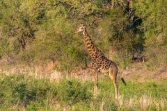 Заход солнца жирафа Стоковое Изображение RF