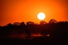 Заход солнца жирафа Стоковые Фото
