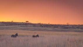 Заход солнца зебры Стоковое Изображение