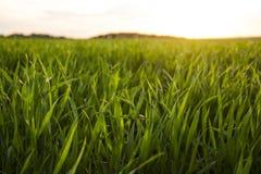 заход солнца зеленого цвета травы Стоковая Фотография