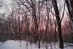Заход солнца зимы через деревья Стоковые Изображения RF