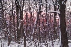 Заход солнца зимы через деревья Стоковые Фотографии RF