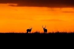 Заход солнца импалы в Maasai Mara Стоковая Фотография RF
