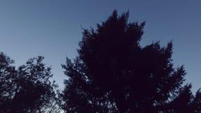 Заход солнца и большая сосна steadicam Ровное движение камеры акции видеоматериалы
