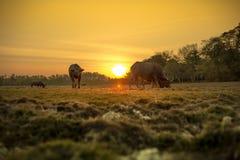 Заход солнца и буйволы Стоковая Фотография
