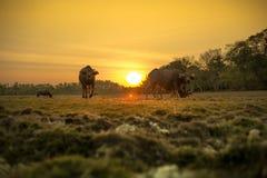 Заход солнца и буйволы Стоковая Фотография RF