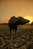 Заход солнца и буйвол Стоковые Фото