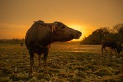 Заход солнца и буйвол Стоковая Фотография