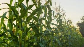 Заход солнца и кукурузное поле Стоковая Фотография RF