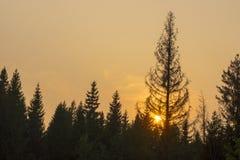 Заход солнца и силуэты елей Стоковые Фото