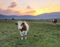 Заход солнца коровы Стоковое фото RF