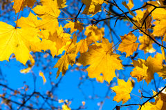 заход солнца клена листьев осени цветастый Стоковое фото RF
