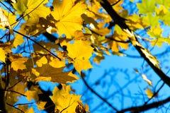 заход солнца клена листьев осени цветастый Стоковое Изображение