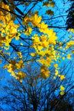 заход солнца клена листьев осени цветастый Стоковые Изображения