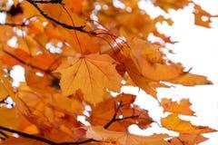 заход солнца клена листьев осени цветастый Стоковые Фотографии RF