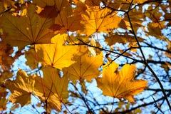 заход солнца клена листьев осени цветастый Стоковые Фото